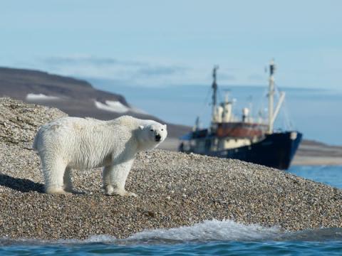Bromas aparte, los osos polares representan una amenaza muy real para la población de Longyearbyen. Aunque los osos viven principalmente al norte de Longyearbyen en la capa de hielo, ocasionalmente pueden aventurarse en la ciudad en busca de comida.