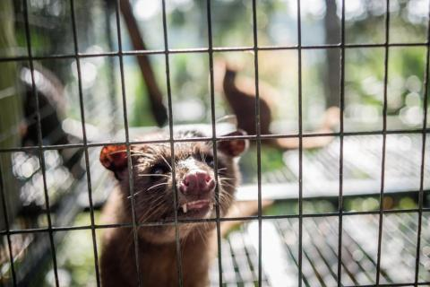 An Asian palm civet in a cage at Kopi luwak farm and plantation in Ubud District, Bali, Indonesia, on November 20, 2018.
