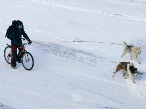 Sin embargo, algunos prefieren métodos de viaje más tradicionales. El archipiélago tiene más de 1.000 perros polares, que son básicamente atletas de élite, a veces corren más de 100 km por día durante semanas.