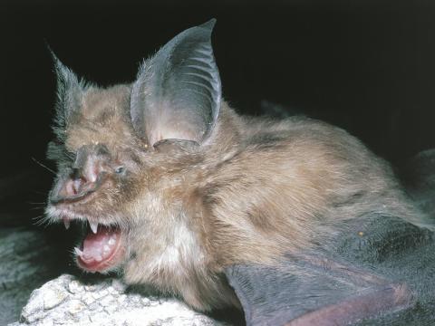 Un murciélago de herradura grande, un pariente de la especie de murciélago Rhinolophis sinicus de China origen del virus del SARS.