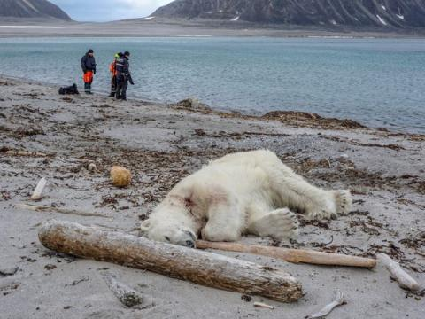 Un oso polar fue asesinado después de que atacara a un empleado de un crucero el 28 de julio de 2018.