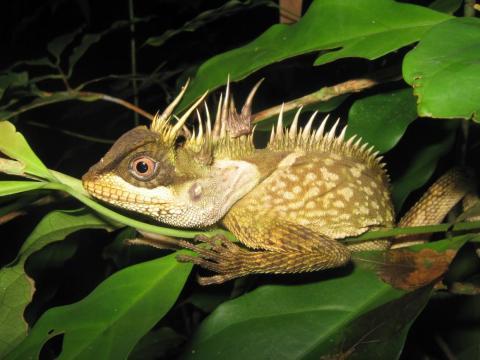 Un macho adulto Phuket Horned Tree Agamid (Acanthosaura phuketensis).