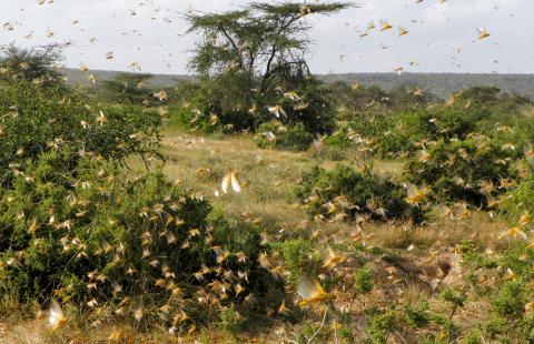 Plaga de langostas, África.
