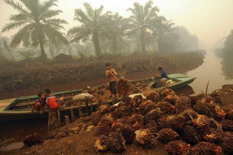 Un trabajador transporta el fruto de la palmera en una plantación de aceite de palma en Sumatra, Indonesia