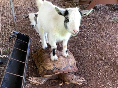 En la granja de Mark Zuckerberg viven cabras y tortugas