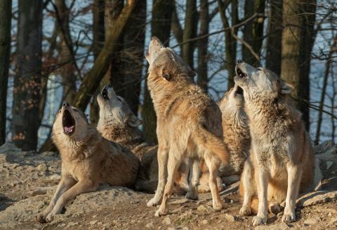 Lobo gris manada
