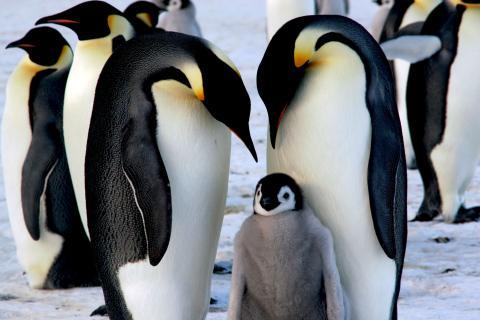 Pinguino emperador familia