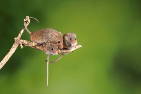 Ratón de la pradera