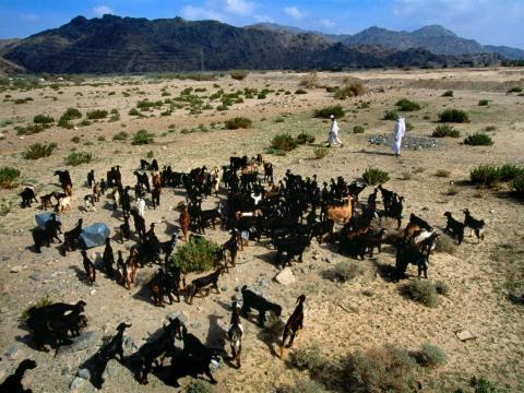 Pastores reuniendo cabras en el desierto a las afueras de La Meca.