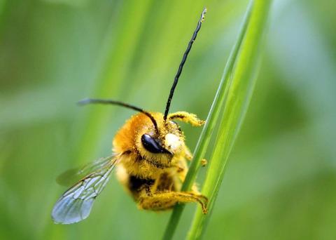 Una abeja cubierta de polen, se posa sobre una brizna de hierba.