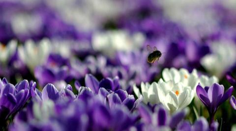 Una abeja recolecta polen en un campo de azafranes en Kew Gardens, en Londres.
