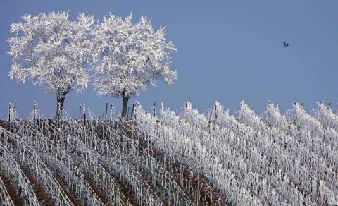 Los árboles helados en medio de los viñedos en la región de Alsacia, cerca de Estrasburgo, Francia.