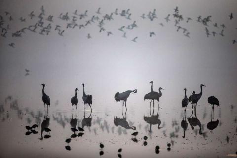 Una bandada de aves migrantes en el parque de Ornitología y Naturaleza del Lago Hula, al norte de Israel.