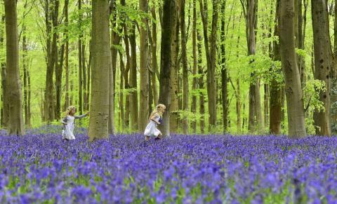Un bosque al sur de Inglaterra es uno de los más bellos lugares para ver las flores bluebell.