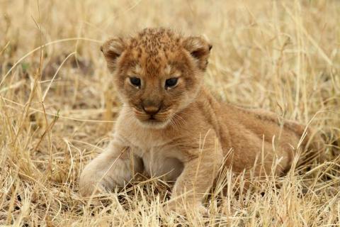 Un cachorro de león descansa en el Parque Nacional Serengeti de Tanzania.