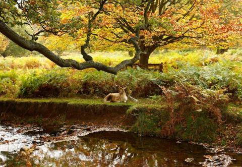 Un ciervo descansa a la orilla de un río en Inglaterra.