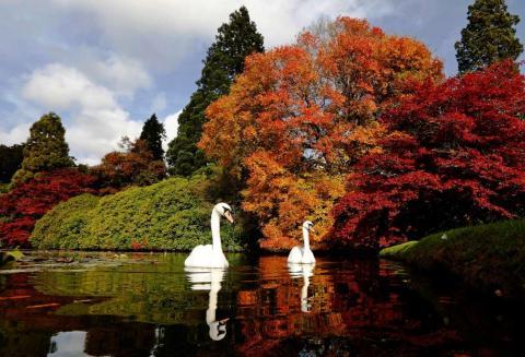 Los cisnes nadan mientras se ven las diferentes tonalidades del otoño en la vegetación en el Sheffield Park Gardens al sur de Inglaterra.