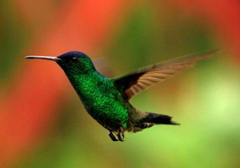 Un colibrí vuela en un jardín de San Francisco.