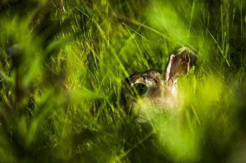 Un conejo de rabo blanco del este se esconde en la hierba de un parque, en la península artificial llamada la Calle Leslie Spit, en Toronto.