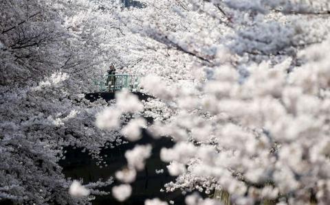 Las flores de cerezo en plena floración en Tokio.