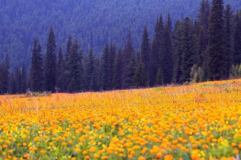 """Las flores de Siberia llamadas en aquel país """"Zharki"""" se ven en primer plano y al fondo se aprecian las montañas occidentales de Sayan, al sur de Siberia."""