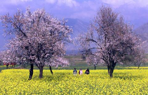 Gente de Cachemira camina a través de un campo mostaza y árboles de albaricoque en Kanibal, a las afueras de Srinagar.