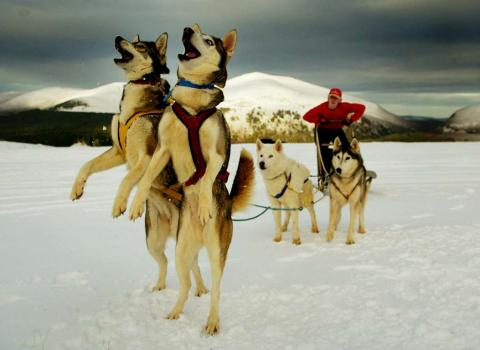 Un grupo de perros huskie juega en la nieve en Escocia.