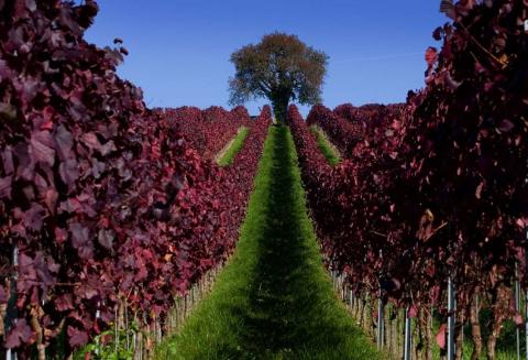 Las hojas rojizas en un viñedo durante un día soleado de otoño, cerca de Überlingen en Alemania.