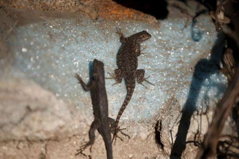 Los lagartos toman el sol en un muelle seco del lago Cachuma, en Santa Bárbara, California.