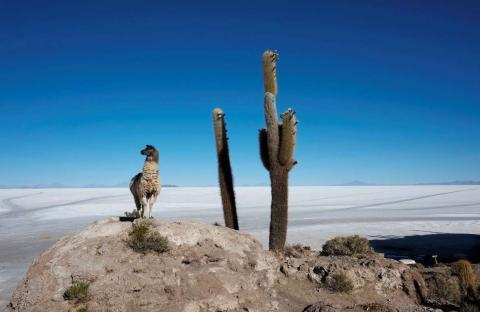 Una llama se detiene junto a un cactus en la Isla Incahuasi, por encima del lago de sal de Uyuni, que posee la mayor reserva mundial de litio