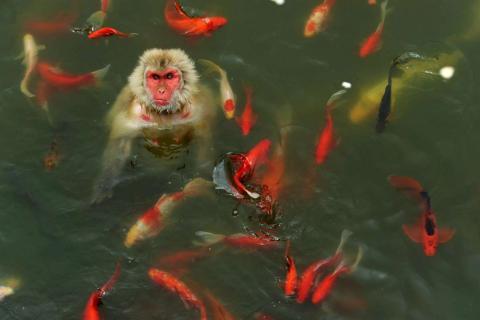 Un mono rodeado por diversas especies marinas en un estanque del parque de vida silvestre, en China.