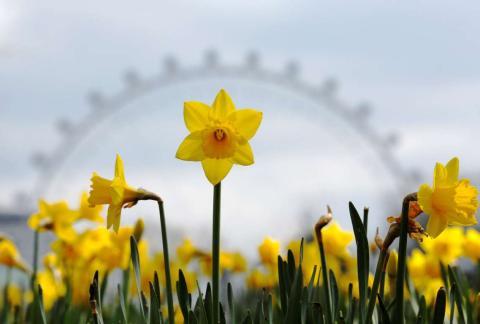 Los narcisos en flor con la London Eye de fondo.
