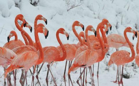La nieve cae sobre una bandada de flamencos en un zoológico de vida silvestre, en la provincia oriental china de Anhui.