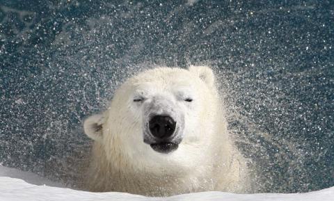 Un oso polar sacude el agua de su cuerpo en un zoológico de Canadá.