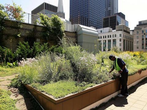 El jardín de la azotea del Ayuntamiento de Chicago se plantó por primera vez en el 2000.