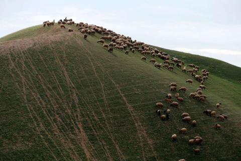 Un rebaño de ovejas palestinas en el desierto de Judea de Israel.