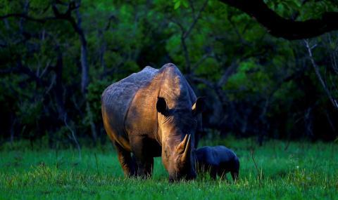 Un rinoceronte blanco del sur llamado Bella, come con su bebé de un día de edad en el Santuario Ziwa Rhino, en el centro de Uganda.