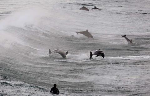 Un surfista observa a un grupo de delfines saltar en las aguas de la playa de Bondi, en Sydney.
