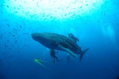 Un tiburón ballena en las Islas Galápagos.