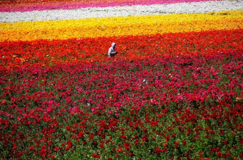 Un trabajador escogiendo las mejores flores en Giant Tecolote Ranunculus en los campos de California.