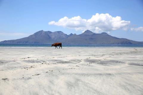 Una vaca camina en la playa Lag Bay, en la isla de Eigg.