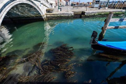 Algas marinas en los canales de Venecia el 18 de marzo.
