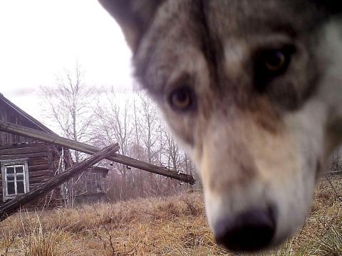 Lobo en la zona de exclusión en 2016.
