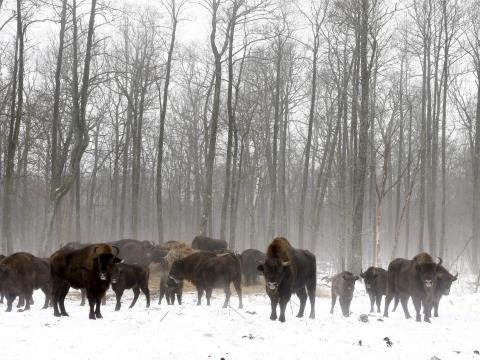 Bisontes en la zona de exclusión en 2016.