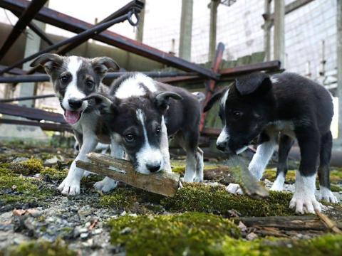 Cachorros callejeros juegan en una torre de enfriamiento abandonada en la planta de energía nuclear de Chernobyl en 2017.