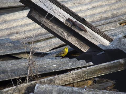 Martillo amarillo en la zona de exclusión en 2016.