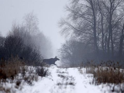 Un alce en la zona de exclusión alrededor del reactor nuclear de Chernobyl en 2016.