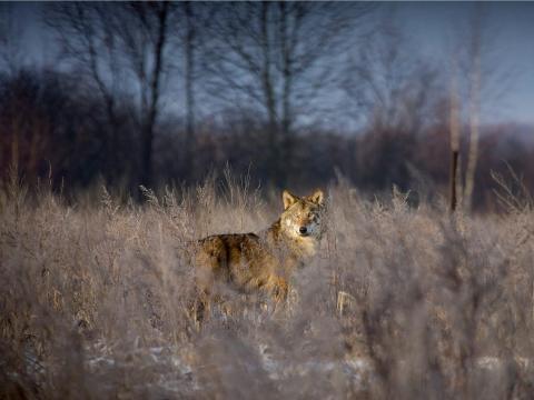 Lobo en la zona de exclusión en 2008.