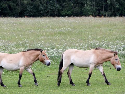 Los caballos de Przewalski cerca de la ciudad de Tabor, República Checa, en 2012. Esta foto no se hizo en la zona de exclusión de Chernobyl.