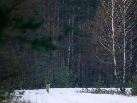 Lobo en la zona de exclusión en 2009.